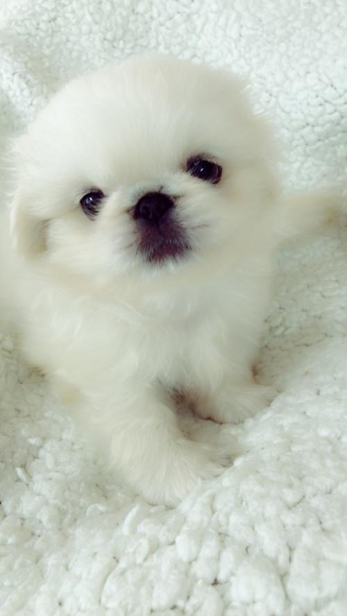 ペキニーズの子犬(ID:1258111093)の5枚目の写真/更新日:2018-06-08