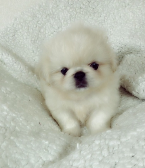 ペキニーズの子犬(ID:1258111094)の1枚目の写真/更新日:2018-06-08