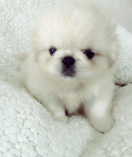 ペキニーズの子犬(ID:1258111094)の2枚目の写真/更新日:2018-06-08