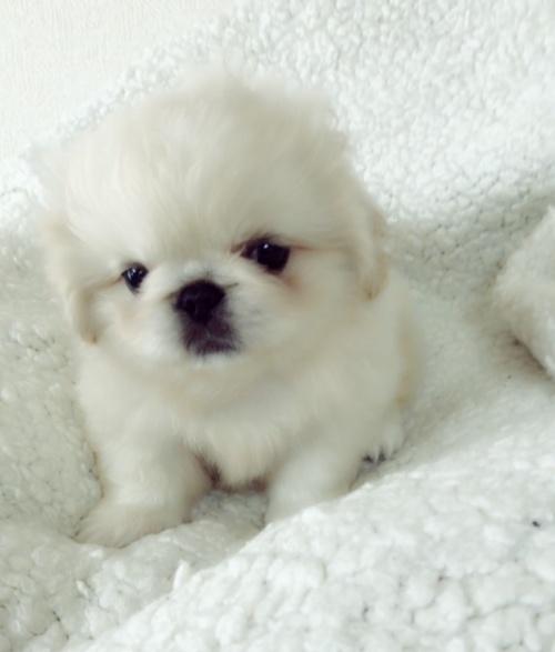 ペキニーズの子犬(ID:1258111094)の3枚目の写真/更新日:2018-06-08