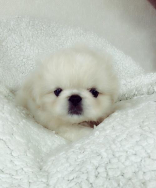 ペキニーズの子犬(ID:1258111094)の5枚目の写真/更新日:2018-06-08