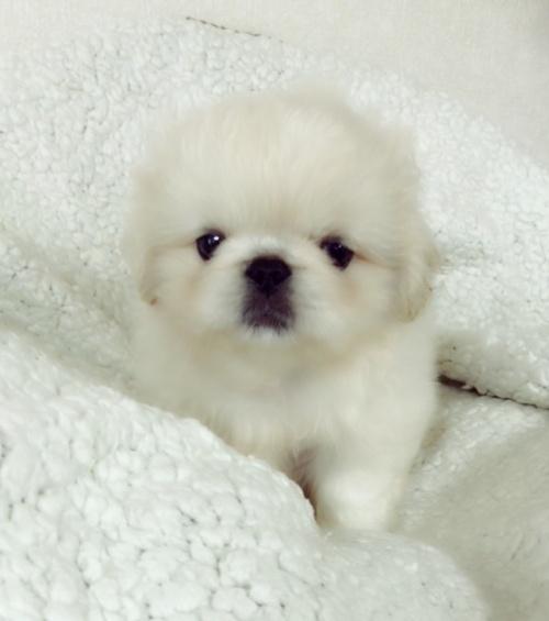 ペキニーズの子犬(ID:1258111094)の6枚目の写真/更新日:2018-06-08