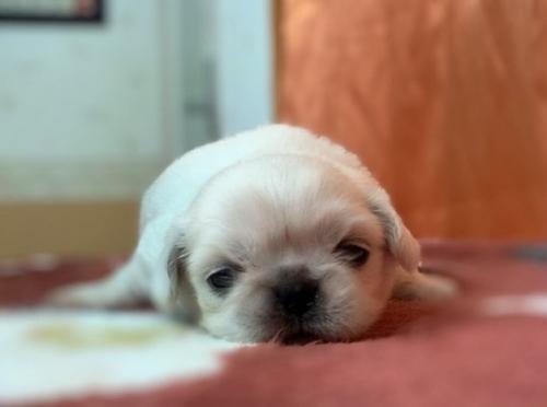 シーズーの子犬(ID:1258111096)の1枚目の写真/更新日:2018-07-05