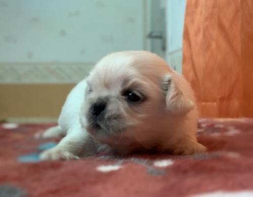 ペキニーズの子犬(ID:1258111096)の2枚目の写真/更新日:2018-07-05