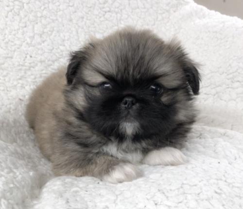 ペキニーズの子犬(ID:1258111097)の1枚目の写真/更新日:2018-07-05