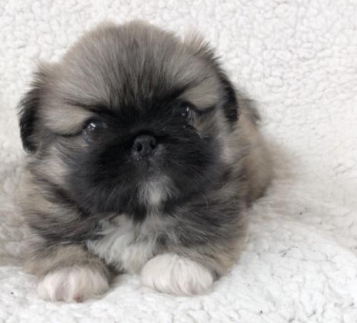 ペキニーズの子犬(ID:1258111097)の2枚目の写真/更新日:2018-07-05