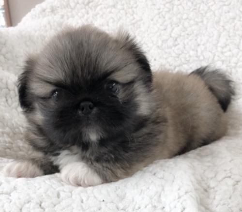 ペキニーズの子犬(ID:1258111097)の3枚目の写真/更新日:2018-07-05