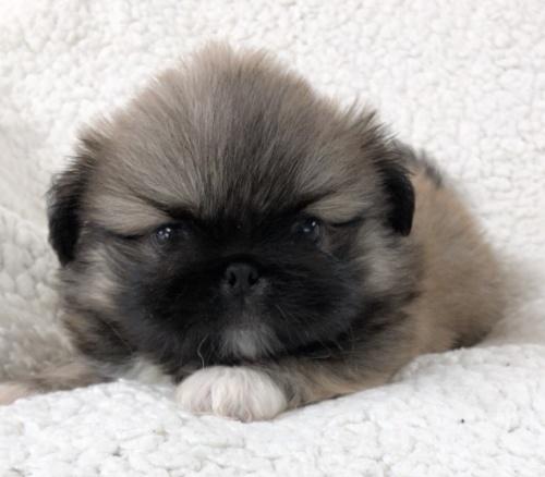 ペキニーズの子犬(ID:1258111097)の4枚目の写真/更新日:2018-07-05