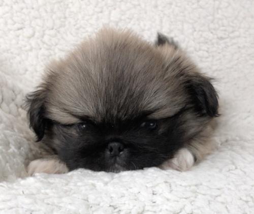ペキニーズの子犬(ID:1258111097)の5枚目の写真/更新日:2018-07-05