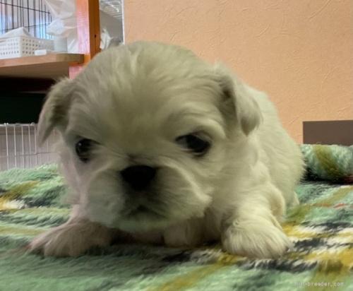 ペキニーズの子犬(ID:1258111098)の1枚目の写真/更新日:2018-07-05