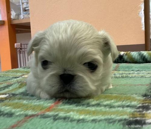 ペキニーズの子犬(ID:1258111098)の3枚目の写真/更新日:2018-07-05