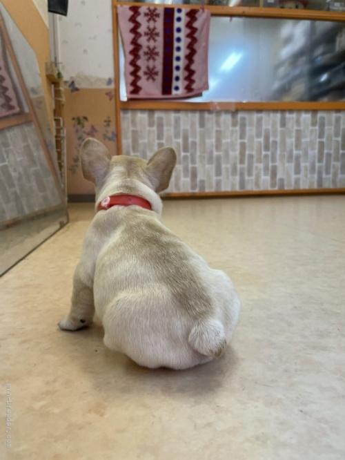 フレンチブルドッグの子犬(ID:1258111099)の3枚目の写真/更新日:2018-08-15