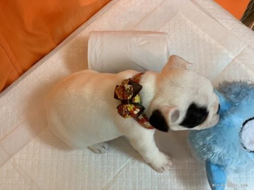 フレンチブルドッグの子犬(ID:1258111100)の2枚目の写真/更新日:2018-08-15