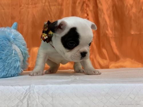 フレンチブルドッグの子犬(ID:1258111100)の4枚目の写真/更新日:2018-08-15