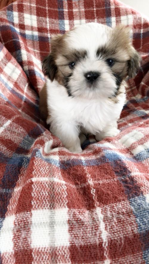 シーズーの子犬(ID:1258111101)の2枚目の写真/更新日:2018-08-15