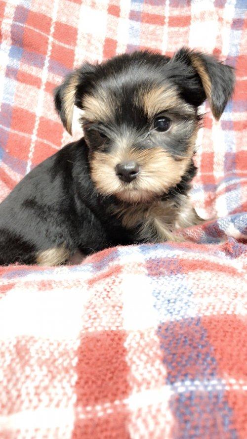 ヨークシャーテリアの子犬(ID:1258111104)の1枚目の写真/更新日:2018-10-29