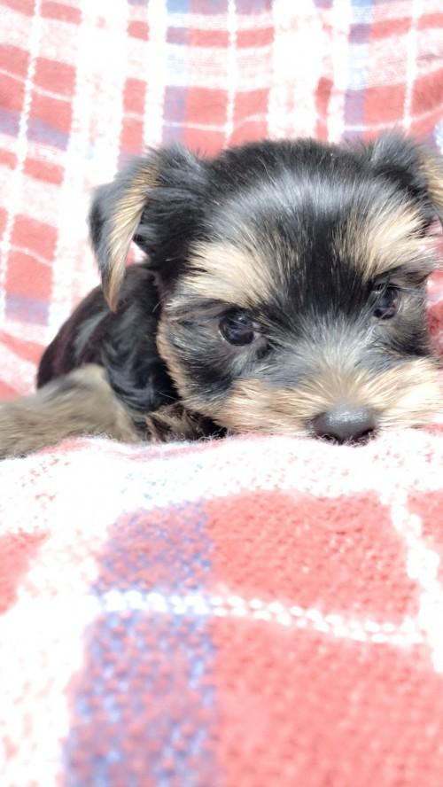 ヨークシャーテリアの子犬(ID:1258111104)の3枚目の写真/更新日:2018-10-29