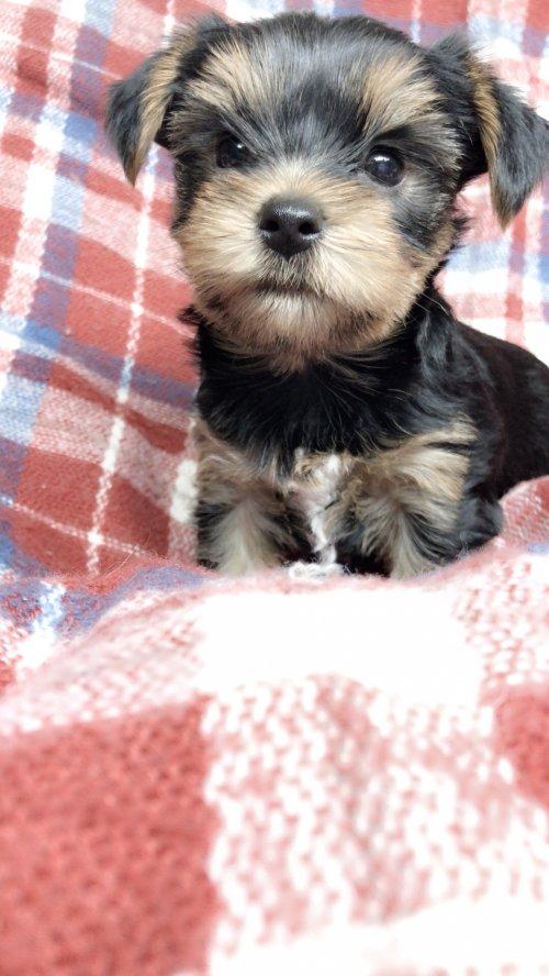 ヨークシャーテリアの子犬(ID:1258111104)の5枚目の写真/更新日:2018-10-29