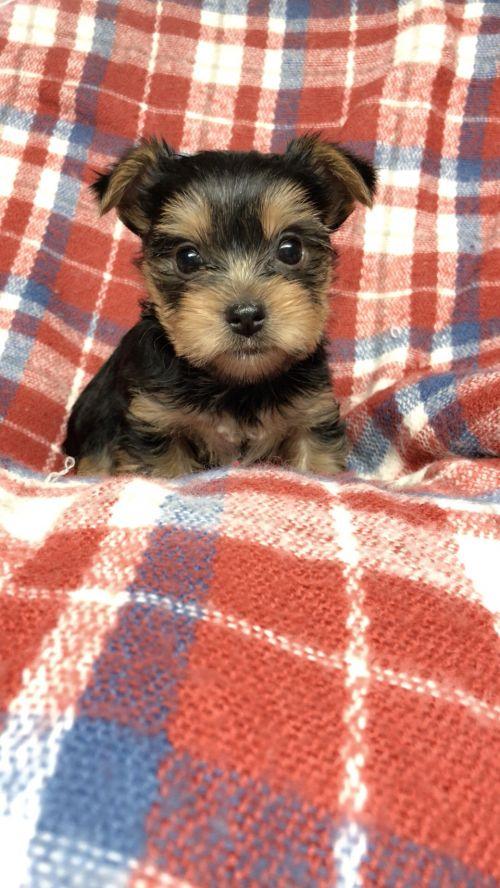 ヨークシャーテリアの子犬(ID:1258111105)の2枚目の写真/更新日:2018-10-29