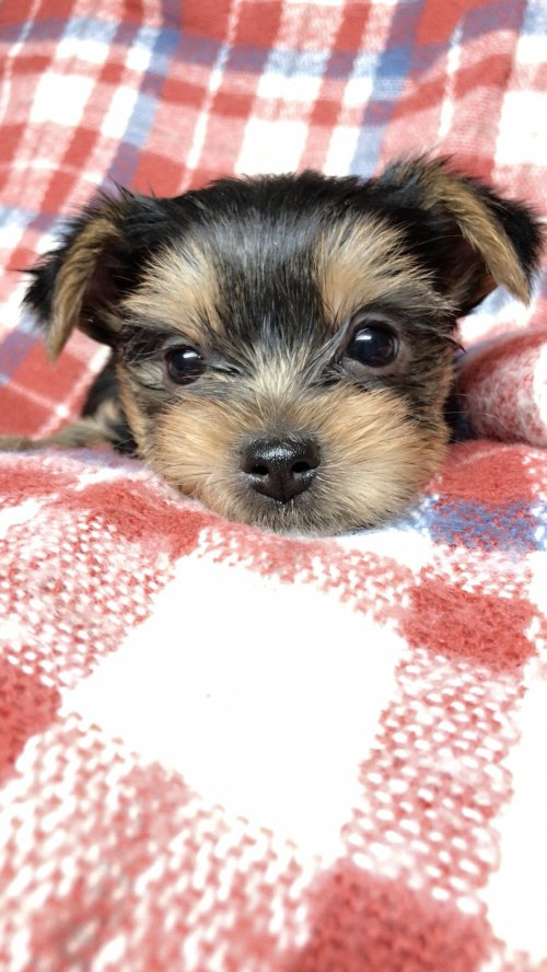 ヨークシャーテリアの子犬(ID:1258111105)の4枚目の写真/更新日:2018-10-29
