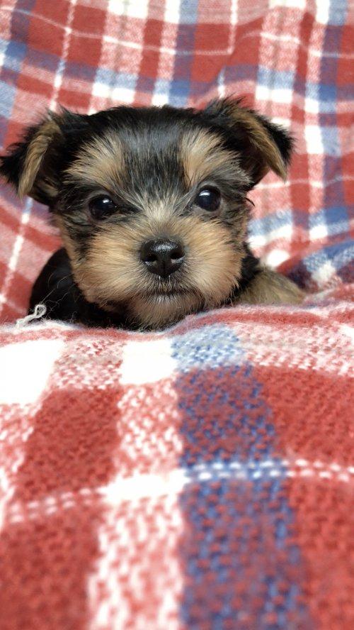 ヨークシャーテリアの子犬(ID:1258111105)の5枚目の写真/更新日:2018-10-29