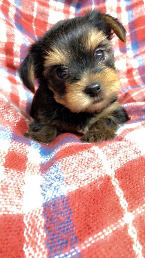 ヨークシャーテリアの子犬(ID:1258111106)の1枚目の写真/更新日:2018-10-29