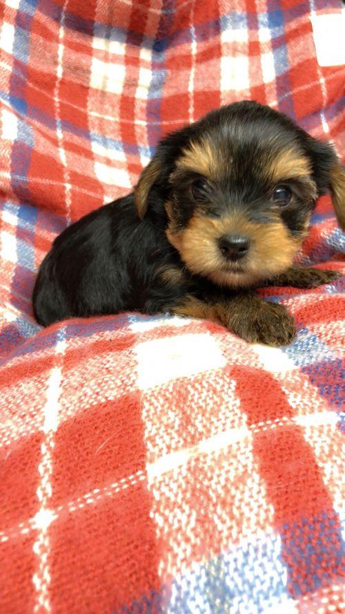 ヨークシャーテリアの子犬(ID:1258111106)の3枚目の写真/更新日:2018-10-29