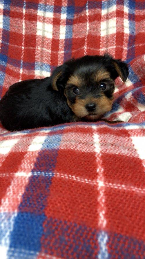 ヨークシャーテリアの子犬(ID:1258111106)の5枚目の写真/更新日:2018-10-29
