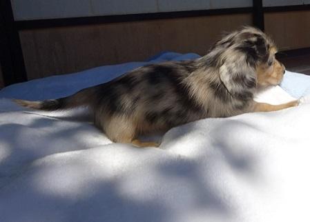 ミニチュアダックスフンド(ロング)の子犬(ID:1258211008)の4枚目の写真/更新日:2017-09-25