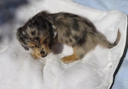 ミニチュアダックスフンド(ロング)の子犬(ID:1258211008)の5枚目の写真/更新日:2017-09-25