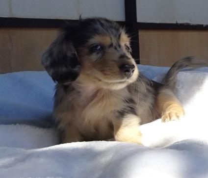 ミニチュアダックスフンド(ロング)の子犬(ID:1258211008)の7枚目の写真/更新日:2017-09-25