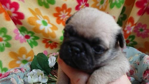 パグの子犬(ID:1258511004)の1枚目の写真/更新日:2018-06-26