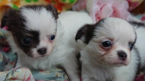 チワワ(ロング)の子犬(ID:1258511006)の2枚目の写真/更新日:2018-06-26