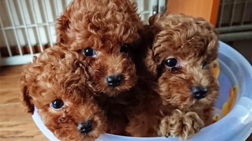 トイプードルの子犬(ID:1258511018)の1枚目の写真/更新日:2018-11-14