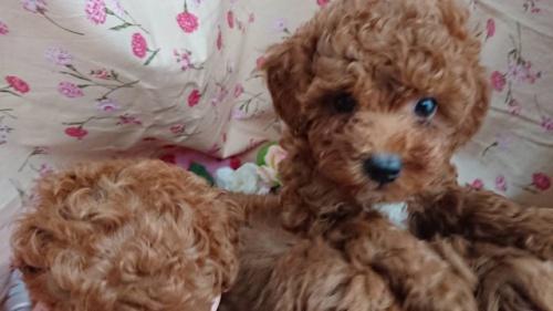 トイプードルの子犬(ID:1258511018)の2枚目の写真/更新日:2018-11-14