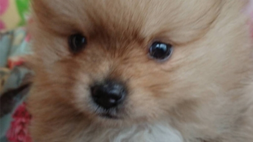 ポメラニアンの子犬(ID:1258511020)の1枚目の写真/更新日:2018-06-26