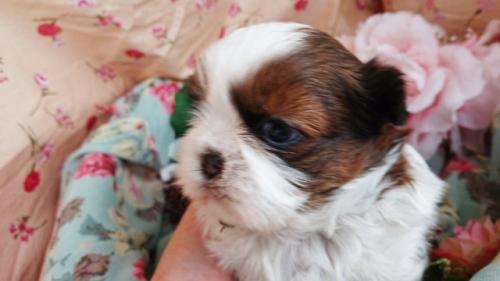 シーズーの子犬(ID:1258511026)の1枚目の写真/更新日:2018-10-22