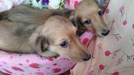 ミニチュアダックスフンド(ロング)の子犬(ID:1258511045)の1枚目の写真/更新日:2017-03-10