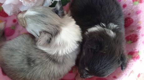 シェットランドシープドッグの子犬(ID:1258511046)の2枚目の写真/更新日:2017-03-10