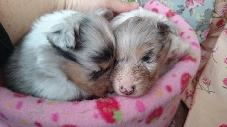 シェットランドシープドッグの子犬(ID:1258511048)の1枚目の写真/更新日:2017-03-10