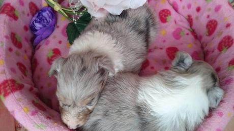 シェットランドシープドッグの子犬(ID:1258511049)の2枚目の写真/更新日:2017-03-10