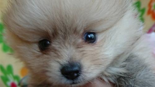 ポメラニアンの子犬(ID:1258511050)の1枚目の写真/更新日:2017-03-10