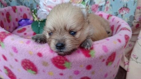 ポメラニアンの子犬(ID:1258511051)の1枚目の写真/更新日:2017-03-10