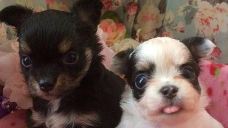 チワワ(ロング)の子犬(ID:1258511052)の1枚目の写真/更新日:2017-04-17