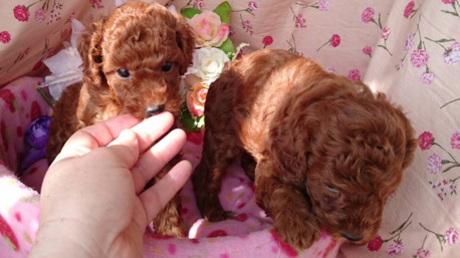 トイプードルの子犬(ID:1258511057)の1枚目の写真/更新日:2017-04-26