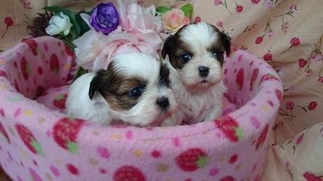 シーズーの子犬(ID:1258511060)の1枚目の写真/更新日:2017-06-13