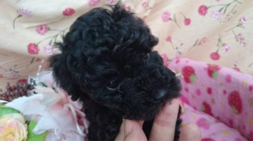 トイプードルの子犬(ID:1258511066)の1枚目の写真/更新日:2017-07-04
