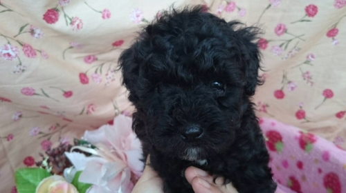 トイプードルの子犬(ID:1258511067)の1枚目の写真/更新日:2017-07-04
