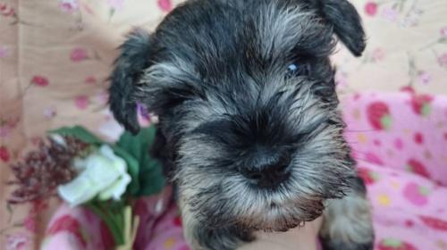 ミニチュアシュナウザーの子犬(ID:1258511068)の1枚目の写真/更新日:2017-07-04
