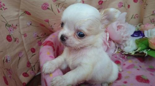 チワワ(ロング)の子犬(ID:1258511072)の1枚目の写真/更新日:2017-08-10